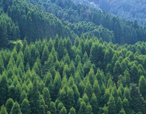 Trees of the Mountain, High Angle View, Pan Focus